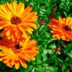 Календула цветы