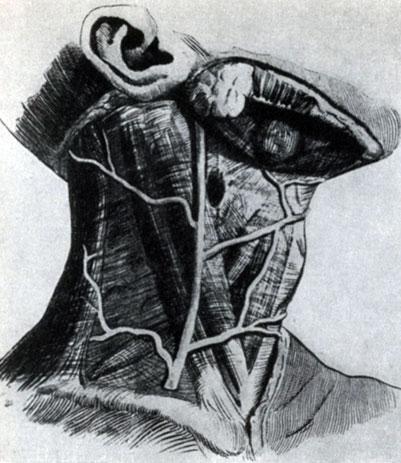 Анатомия шеи 7 позвонков, треугольники и другие её части
