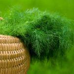 Зелень укропа в корзинке