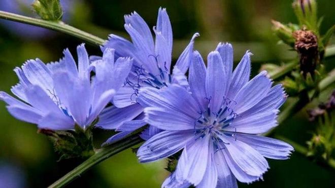 Цветы цикория многим известны с детства.