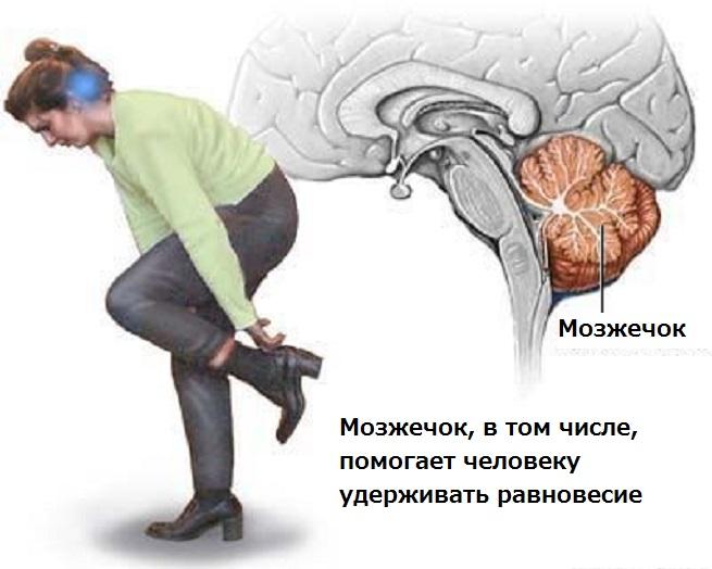 Для чего нужен мозжечок