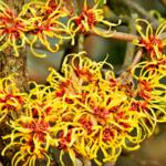 Гамамелис растение