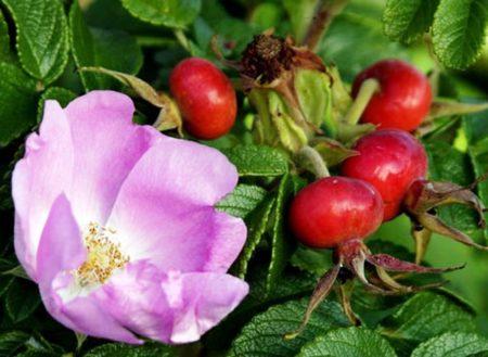 Клиническая эффективность монастырского чая от повышенного артериального давления, причины возникновения гипертензии, показания, противопоказания и побочные действия