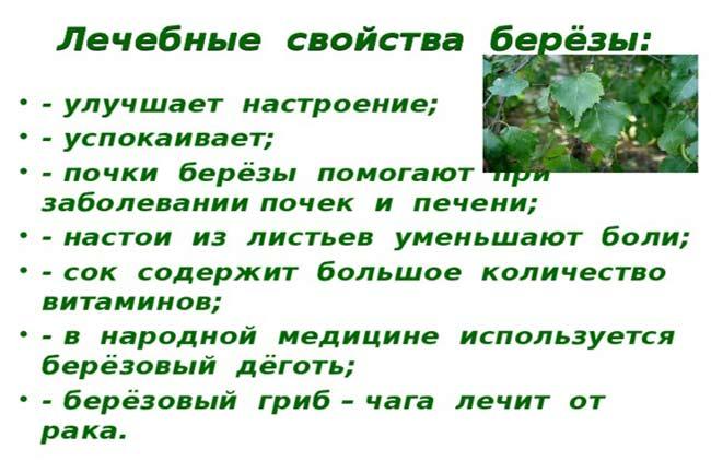 Лечение почек березовыми листьями