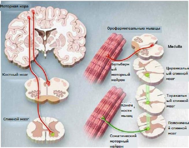 Что происходит в мышцах