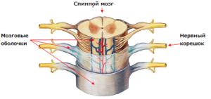 Строение спинного мозга
