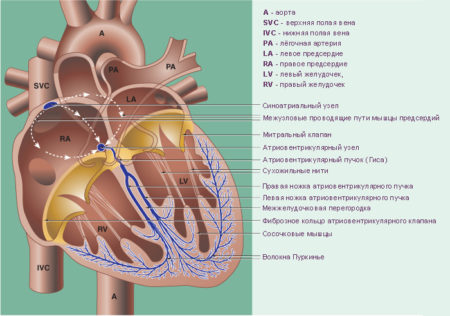 Причины повышенного пульса при нормальном давлении: что делать?