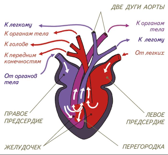 Дуги аорты