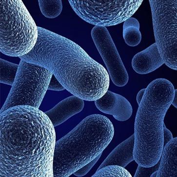 Бифидобактериум бифидум бактерии