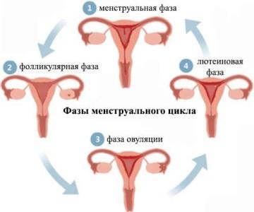 О женской физиологии