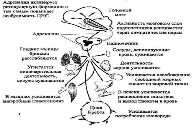 Функции гормона адреналина