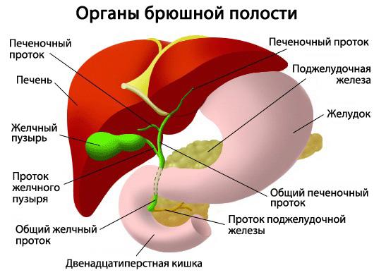 Фото органов брюшной полости