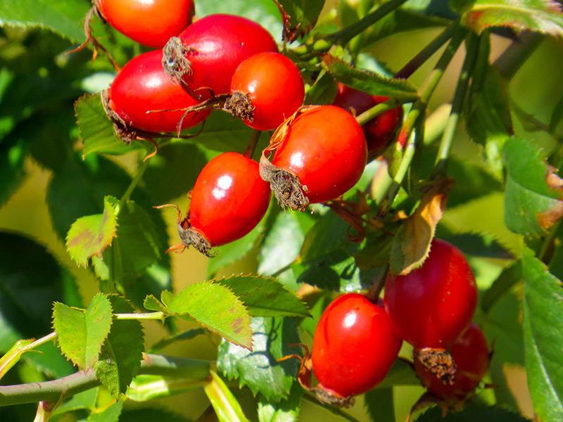 Шиповника плоды
