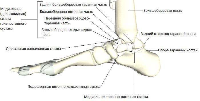 Восстановление и укрепление связок голеностопного сустава. Строение и другая информация