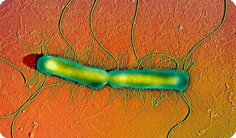 Протеи бактерия бакпосев