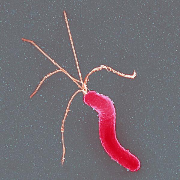 Хеликобактер пилори бактерия